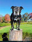 Wine Dogs Australia 4